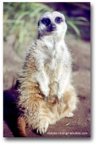 Meercat taking it easy