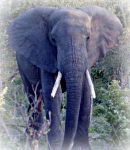 elephant-Zimbabwe