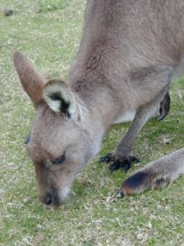 grey kangaroo | NSW