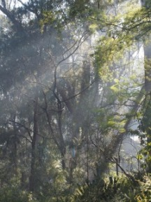 EucalyptusForest