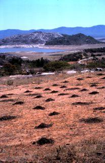 dung-maize-field
